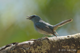 Flycatcher, Pale Blue (male)