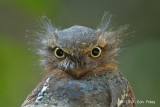 Frogmouth, Blyth's (male)