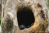 Owlet-nightjar, Barred @ Virirata National Park