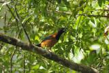 Pitohui, Hooded @ Virirata National Park
