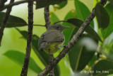 Honeyeater, Green-backed @ Virirata National Park