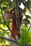 Bird-of-paradise, Raggiana @ Virirata National Park