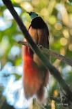 Bird-of-paradise, Raggiana