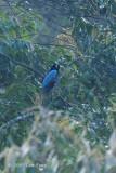 Bird-of-paradise, Blue
