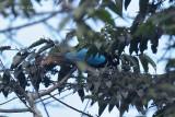 Bird-of-paradise, Blue (male) @ Anji