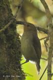 Scrub-wren, Large @ Kumul Lodge
