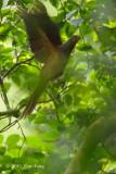 Dove, Brown Cuckoo @ Virirata National Park