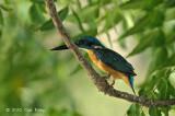 Kingfisher, Common (male) @ Pacific Adventist Universary