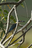 Kingfisher, Sacred @ Pacific Adventist University