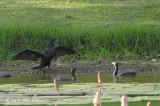 Cormorant, Little Black & Little Pied @ Pacific Adventist Universary