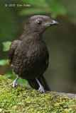 Bowerbird, Archbold's @ Kumul Lodge