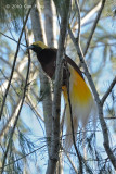 Bird-of-paradise, Lesser (male) @ Kama