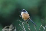 Shrike, Long-tailed @ Kumul Lodge