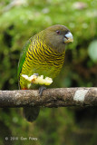Parrot, Brehm's Tiger (female) @ Kumul Lodge