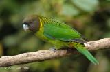 Parrot, Brehm's Tiger (male) @ Kumul Lodge