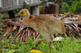 Cassowary, Northern @ Ohu