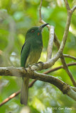 Bee-eater, Red-bearded (juvenile)
