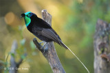 Astrapia, Ribbon-tailed (male) @ Kumul Lodge