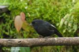 Robin, White-winged @ Kumul Lodge