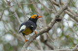 Myna, Yellow-faced @ Pacific Adventist University