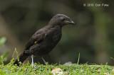 Bowerbird, Archbold's
