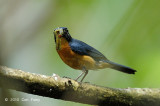 Flycatcher, Mangrove Blue (male) @ Pulau Ubin