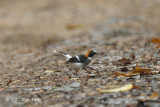 Forktail, Chestnut-naped (male)