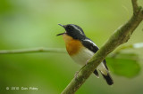Flycatcher, Rufous-chested (male) @ Hulu Langat