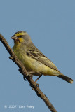 Canary, Yellow-fronted