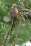 Mousebird, Speckled