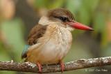 Kingfisher, Brown-hooded (female)