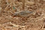 Quelea, Red-billed (non-breeding male)