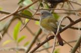 Pytilia, Green-winged (female)