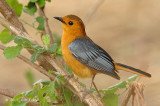 Robin-Chat, Red-capped