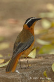 Robin-Chat, White-browed