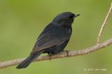 Flycatcher, Southern Black