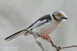 Shrike, White-crested Helmet-