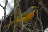 Shrike, Orange-breasted Bush-