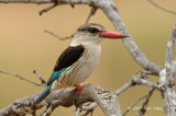 Kingfisher, Brown-hooded (male)