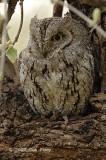 Owl, African Scops-