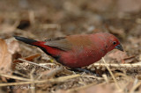 Firefinch, Jameson's (male)