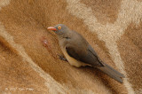 Oxpecker, Red-billed