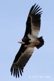 Vulture, White-headed