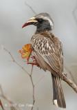 Hornbill, African Grey (female)