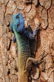 Lizard, Agama