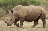 Rhinocerus, White