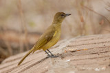 Greenbul, Yellow-bellied