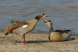 Goose, Egyptian