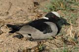 Lapwing, Blacksmith (sitting on nest)
