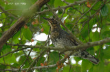 Thrush, Siberian (male - first winter) @ Bukit Timah
